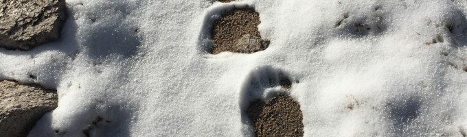 A close of up view of these huge bear tracks, the biggest I've ever found!