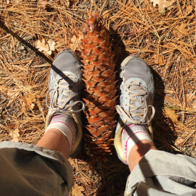 sugar pine pine cone